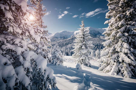 Spectacular white spruces on a frosty day. Location Carpathian national park, Ukraine, Europe. Ski resort. Exotic wintry scene. Fabulous winter wallpaper. Happy New Year! Discover the beauty of earth. Standard-Bild