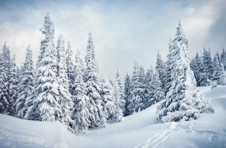 Frozen white spruces on a frosty day. Location Carpathian mountain, Ukraine, Europe. Alpine ski resort. Fabulous winter wallpaper. Winter greeting card. Happy New Year! Discover the beauty of world. Standard-Bild