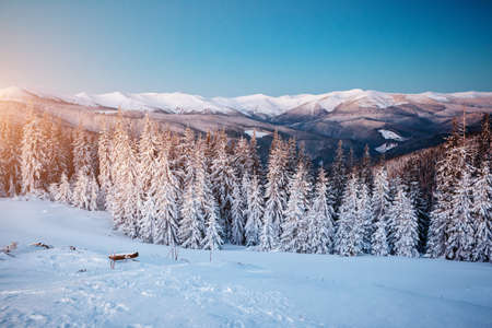 Magical white spruces on a frosty day. Location Carpathian national park, Ukraine, Europe. Winter alpine ski resort. Exotic wintry scene. Blue toning. Happy New Year! Discover the beauty of earth.