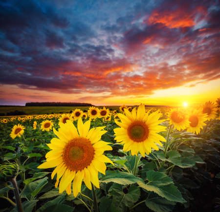 Vivid yellow sunflowers glow in the evening. Location place of Ukraine, Europe. Blooming field closeup. Photo of ecology concept. Perfect summertime wallpaper background. Discover the beauty of earth. Standard-Bild