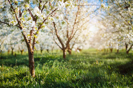 Idyllic ornamental garden with blooming lush trees in the idyllic sunny day. Abstract seasonal background. Flowering orchard in spring time. Scenic image of trees in charming garden. Beauty of earth. Standard-Bild