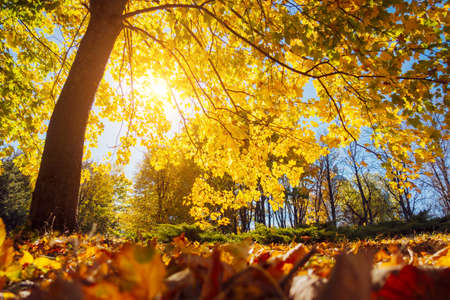 The bottom view of trees in warm light. Location place Ukraine, Europe. Picture of idyllic autumn wallpaper. Majestic and gorgeous day in the park. Soft light effect. Discover the beauty of earth.
