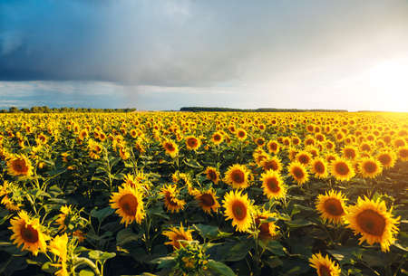 Bright yellow sunflowers glow in the sunlight. Location place of Ukraine, Europe. Blooming field closeup. Photo of ecology concept. Perfect natural wallpaper background. Discover the beauty of earth. Stock Photo