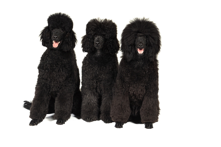 Three black king poodles isolated in white sitting