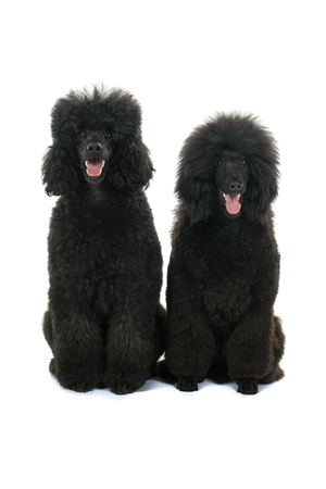 Two black king poodles isolated in white background