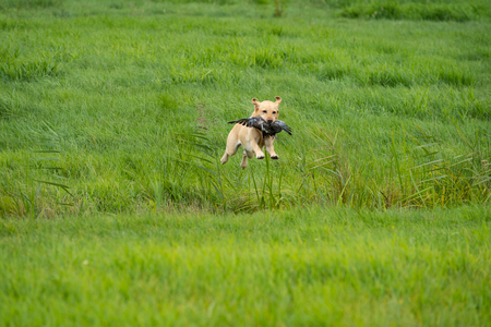 Yellow labrador jumping over a ditch aporting a pigeon at a hunting dog test in a field grassland