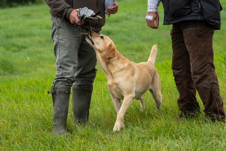 Two hunters holding a pigeon with yellow labrador licking the pigeon standing in a field waiting
