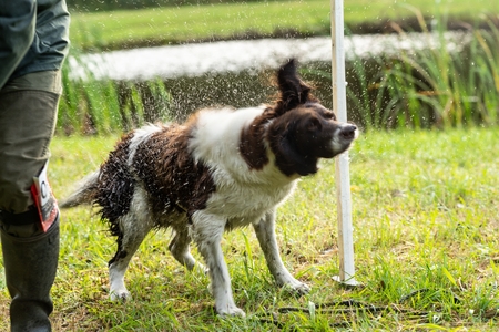 Dutch partridge dog, Drentse patrijs hond, shaking to get rid of water in his fur with water splashing everywhere in the sunlight 版權商用圖片
