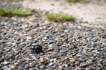 Dung beetle walking across a path in heather flied in Den Treek The Netherlands