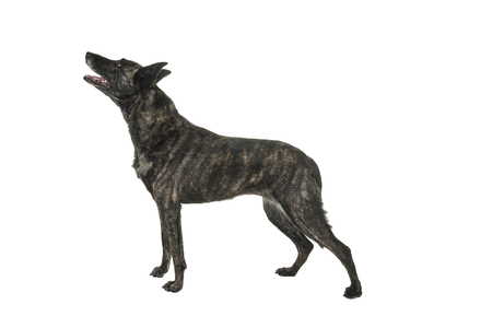 Portrait of an Brindle Dutch shepherd in a studio isolated on white background