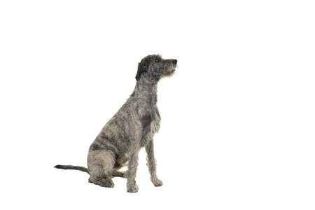 Grey large Irish wolfhound dog sitting sideways isolated on white background
