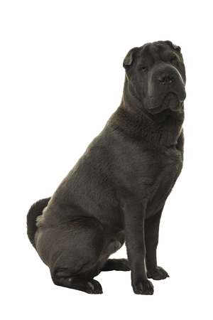 Sitting grey Shar Pei dog looking at the camera isolated on white background Stock Photo