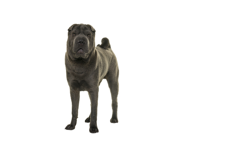 Standing grey Shar Pei dog looking at the camera isolated on white background