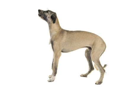 Blonde young ( 7 months old ) Irish wolfhound dog standing sideways isolated on white background Stock Photo