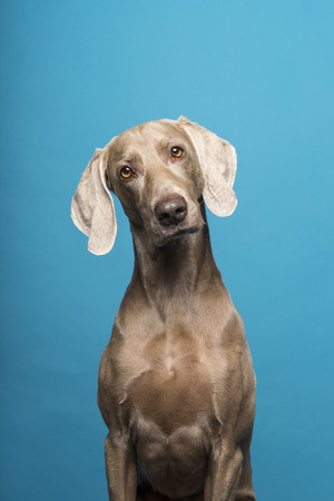 Portrait of female Weimaraner dog on a blue background