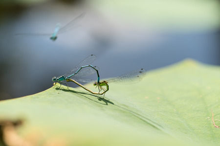 Two blue and green mating damselflies in a love-wheel in a pond, macro close-up