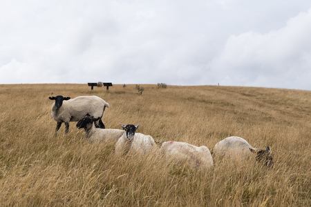 Sheep grazing in the English landscape