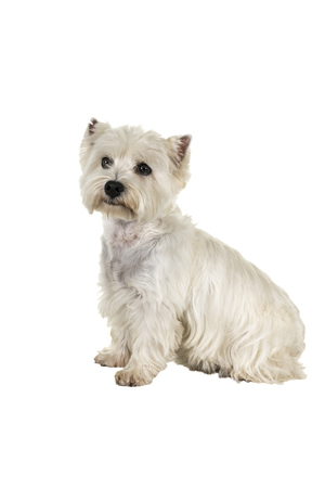 White West Highland Terrier Westie sitting sideways looking at camera isolated on a white background