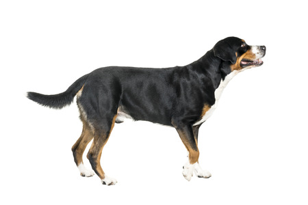 Greater Swiss Mountain Dog standing and looking away from the camera