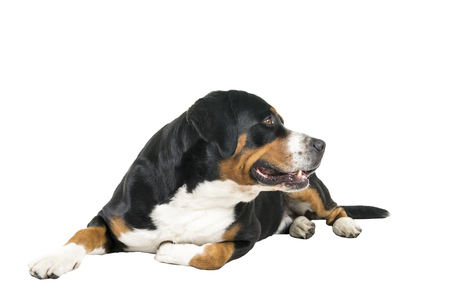 Greater Swiss Mountain Dog lying down sideways and looking away from the camera