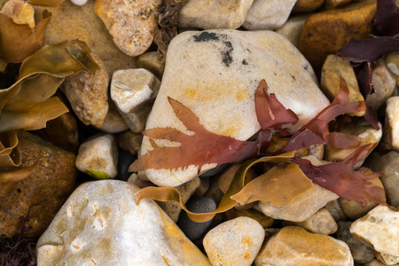 Closeup of marine algae from the shoreline lying on a stone pebble. purple red and yellow colors wallpaper or background