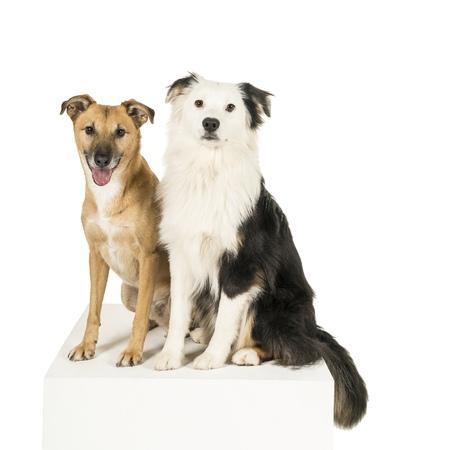 Mixed breed dog and Australian shepherd in white background looking at camera Standard-Bild