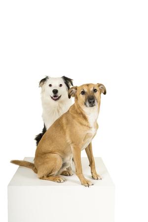 Perro de raza mixta Pastor Australiano sentado fondo blanco mirando a la cámara Foto de archivo