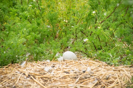 Unhatched Mute Swan Egg in a Nest Imagens
