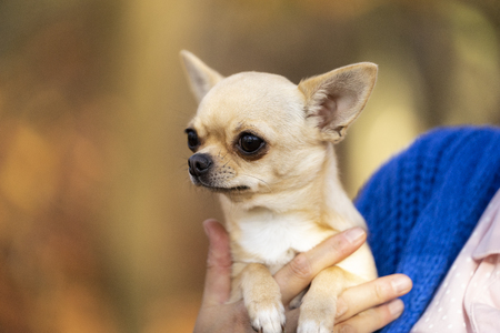 Chihuahua dog sitting on her owners arm in an autumn forest background Stok Fotoğraf
