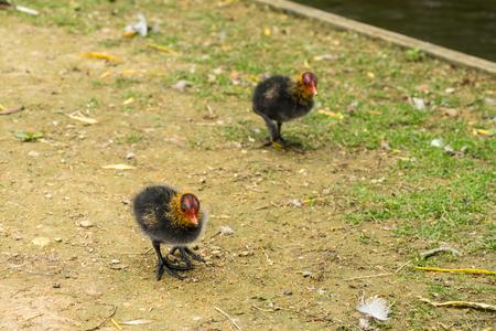 Two Eurasian water coot chicks fouraging near a brook Standard-Bild - 118514018