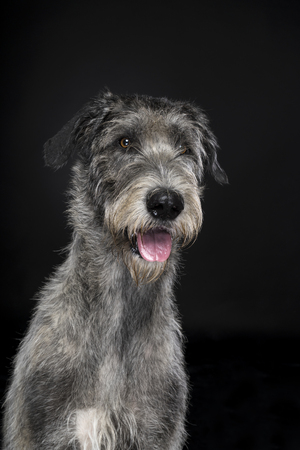 Grey large Irish wolfhound dog sitting looking at camera black background