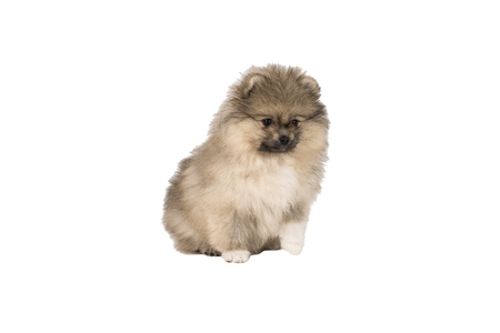 Small Pomeranian puppy standing isolated on a white background Standard-Bild