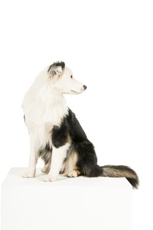 Australian Shepherd dog in white background looking back