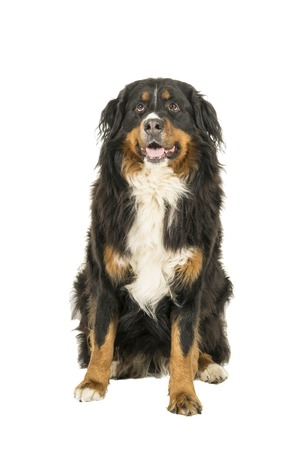 Berner Sennen Mountain dog sitting looking up isolated on a white background Reklamní fotografie