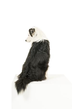 Australian Shepherd dog in white background back turned looking aside Banco de Imagens
