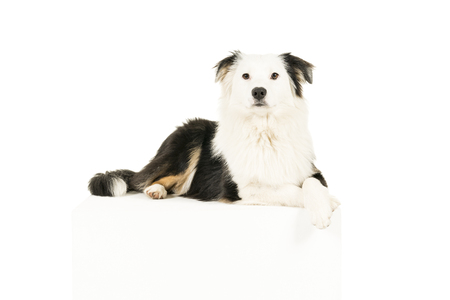 Australian Shepherd dog in white background lying paws crossed looking at camera