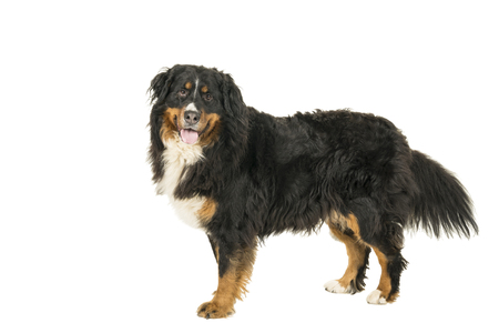 Berner Sennen Mountain dog standing looking up isolated on a white background