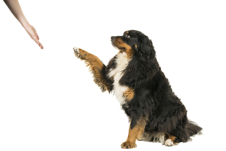 Berner Sennen Mountain dog sitting giving paw isolated on a white background Reklamní fotografie