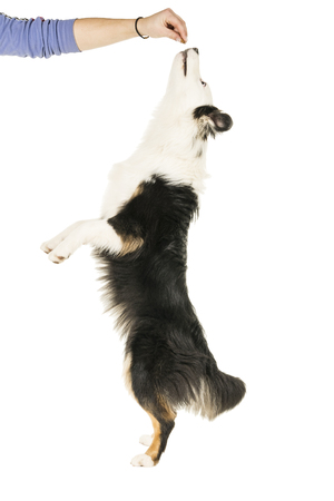 Australian Shepherd dog in white background jumping up for a treat Banco de Imagens - 118515119