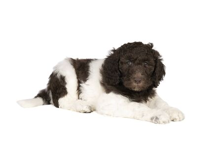 Harlequin Poodle puppy with brown and white fur lying isolated on a white background