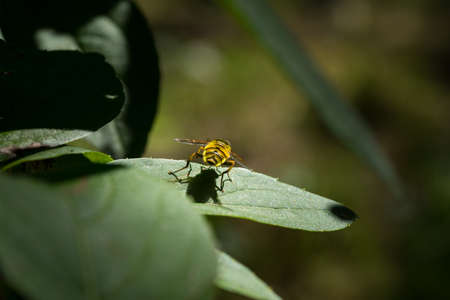A Close-up of a yellow and black hover fly sitting on a leaf with selective focus