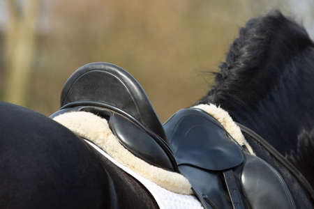 A Detail of the special dressage wide Friesian Horse in black with shiny fur riding in a paddock