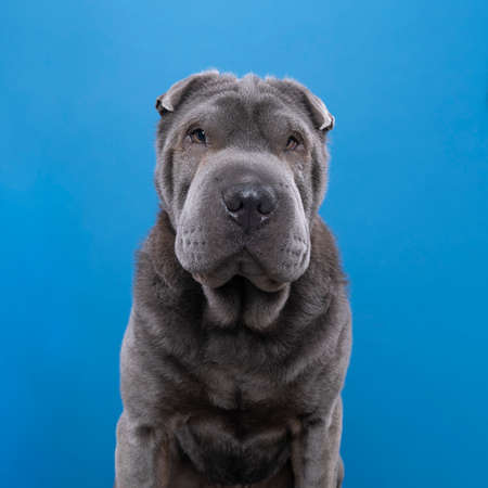 A Sitting gray Sharpei dog looking at the camera isolated on a blue background