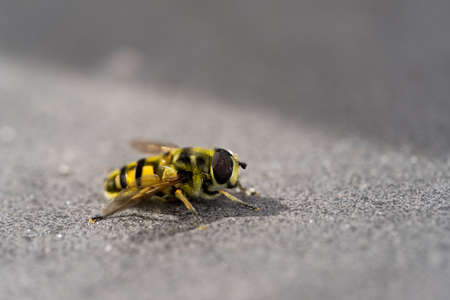 A Close-up of a yellow and black hover fly sitting on a stone with selective focus Archivio Fotografico