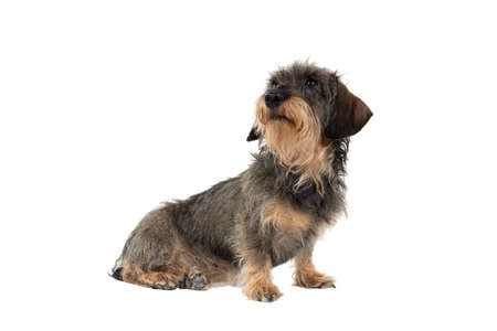 Full body Closeup of a bi-colored longhaired wire-haired Dachshund dog with beard and mustache isolated on white background