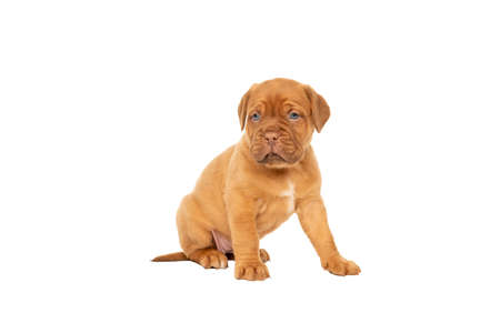 Cute puppy French breed dogue de Bordeaux sitting isolated on a white background with copy space