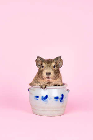 A cute small baby guinea pig sitting in a cologne earthenware pot on pink colored background