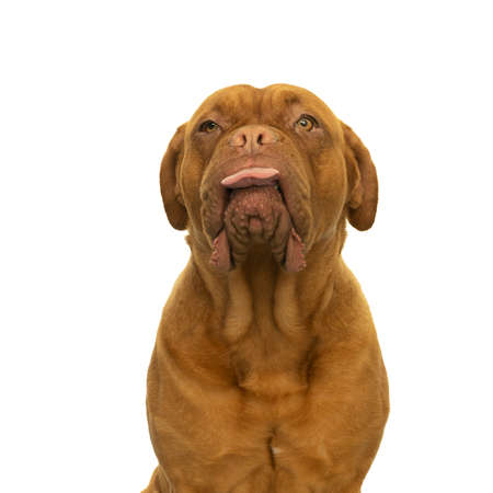 Portrait of the head of an adult Dogue de Bordeaux dog, female, sticking out her tongue in a cheecky way isolated on white background