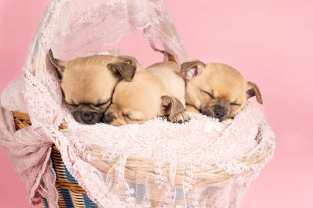 Three cute little Chihuahua puppies sleeping on a pink fur in a pink lace basket with pink background
