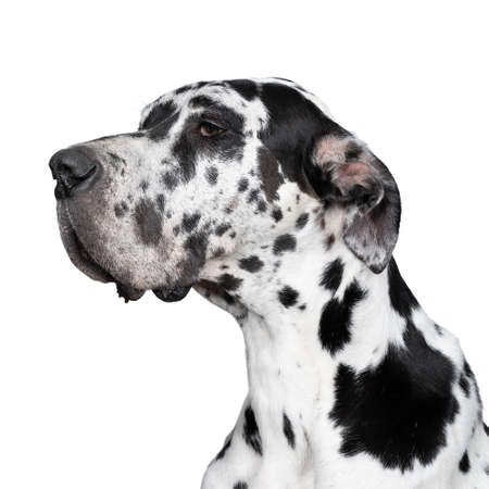 A Portrait of the head of a Great Dane Dog or German Dog, the largest dog breed in the world, Harlequin fur, white with black spots, sitting isolated in white background Stock Photo